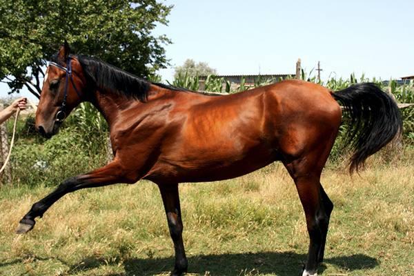 Описание и породы гнедой масти лошадей с фото