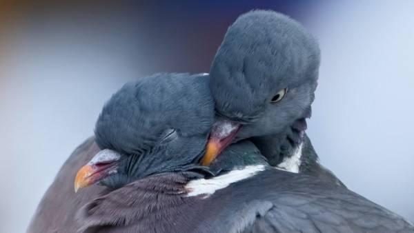 Голуби спариваются