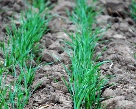 Лучшие сорта пшеницы озимой: посадка и уход