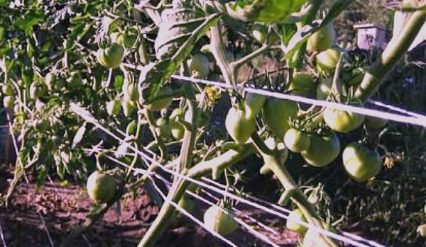Достоинства и агротехника сорта томата Бычье сердце
