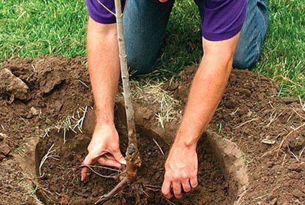 Правила посадки яблони
