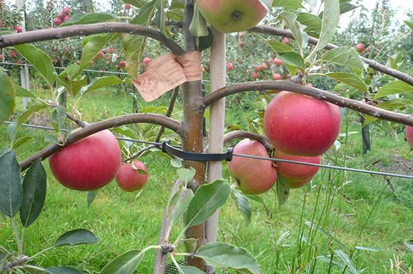 Дальнейший уход за яблонью