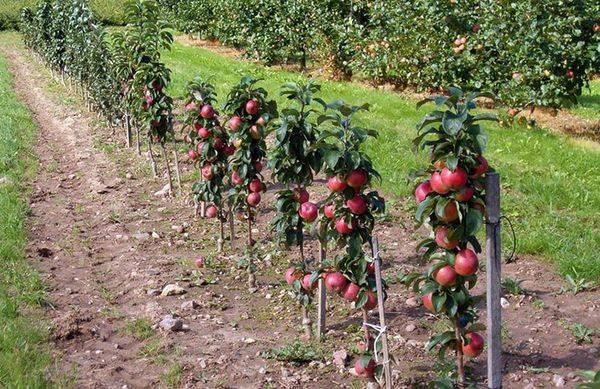 Преимущества и недостатки выращивания яблони на карликовом подвое